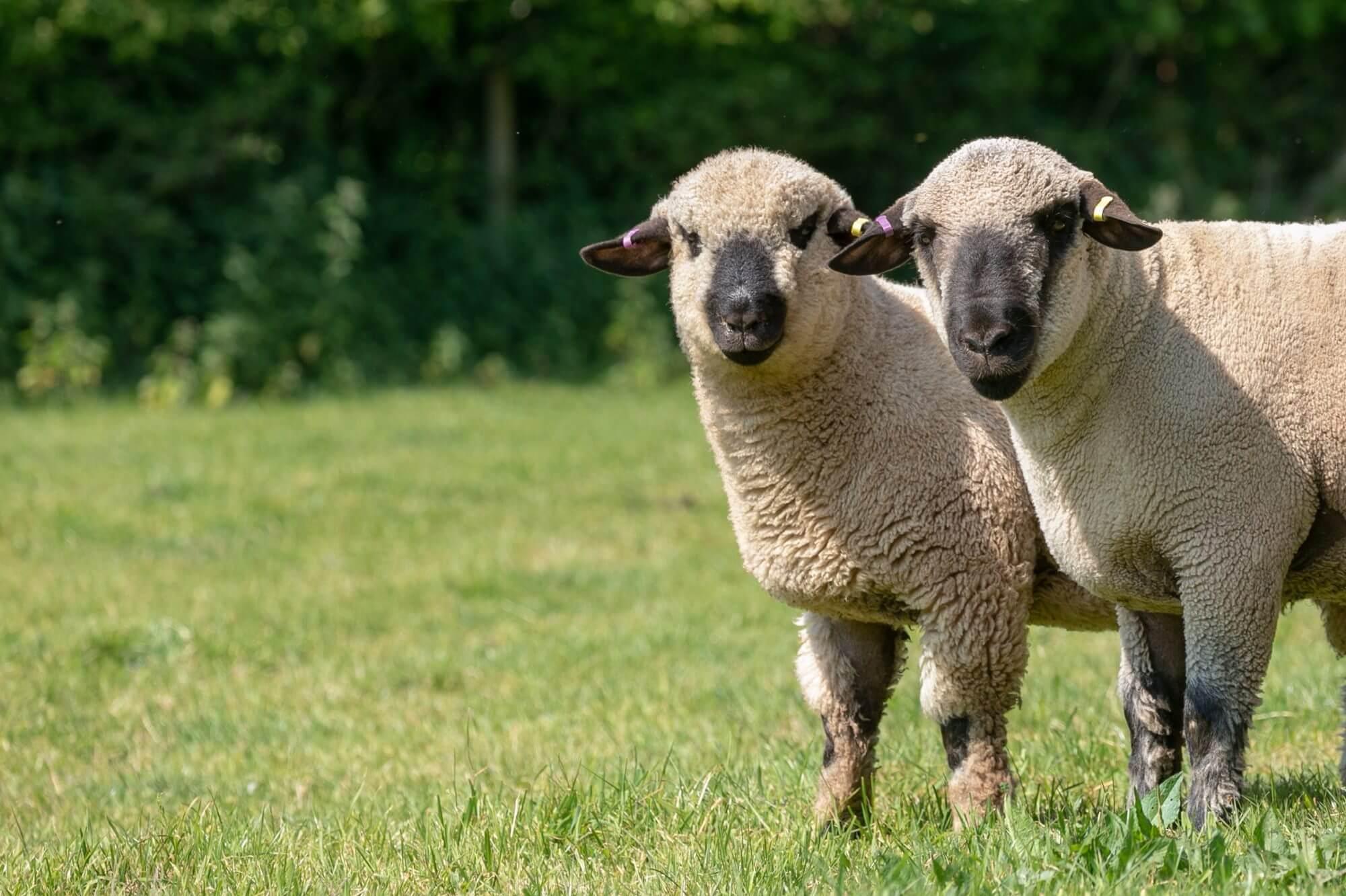 Award Winning Sheep!