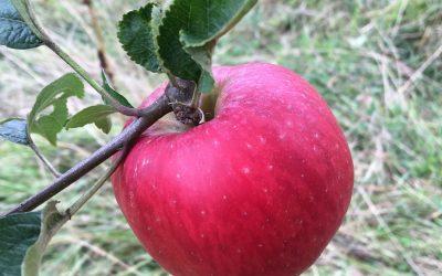 Apple pressing and tasting weekend
