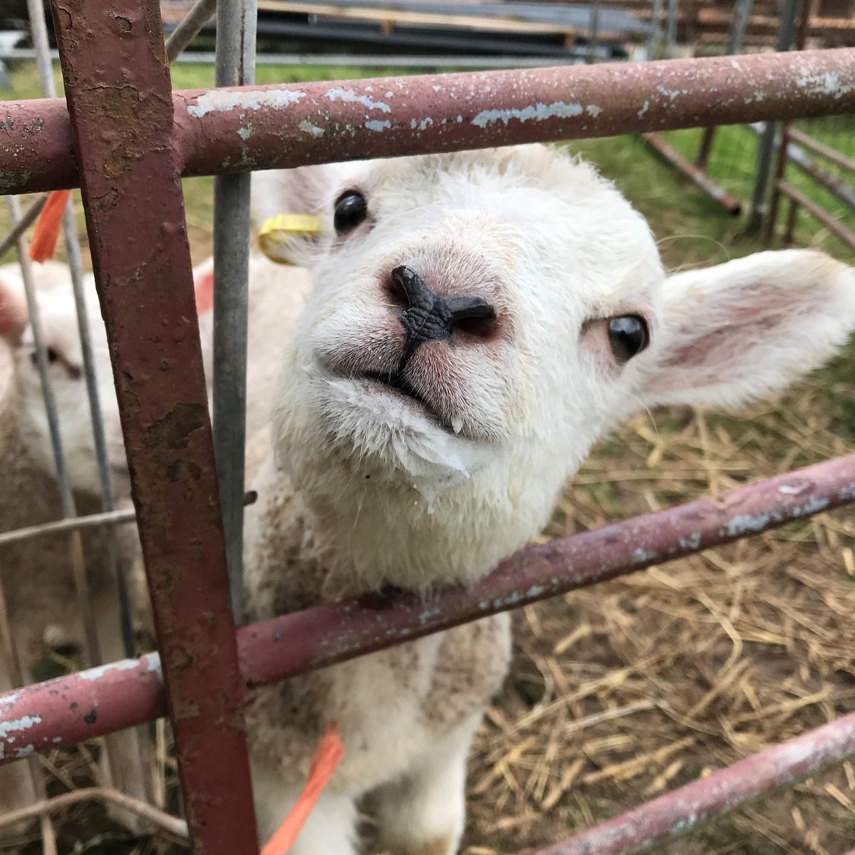 Lamb close-up at Valleyside Escapes
